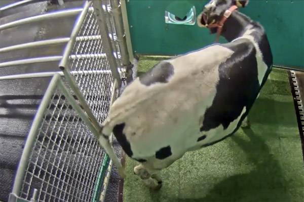 cow potty training